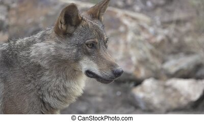 Slow motion of wolf head walking, side view, flat color -...