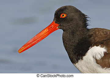 Closeup of an American Oystercatcher - St. Petersburg, Florida