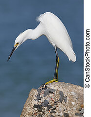 Snowy Egret hunting for fish from a seawall- Florida - A...