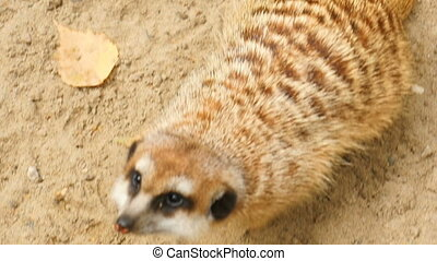 Meerkat looking to camera, close-up