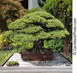Bonsai miniature evergreen tree - Bonsai and Penjing...