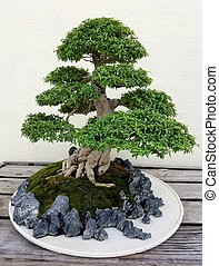 Bonsai miniature Pine tree - Bonsai and Penjing landscape...