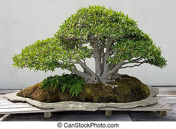 Bonsai miniature ficus tree - Bonsai and Penjing landscape...