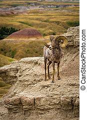 sheep,  Badlands, grande, solitario, cuerno, borde