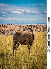 sheep, grande, pasto o césped, solitario, cuerno