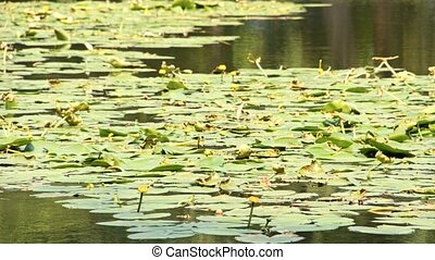 Intensive green water lily in a small lake.
