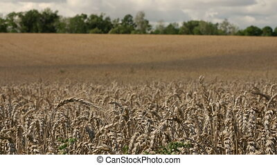 Large field of wheat swaying in the wind.