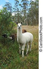 Baby llama with trees in background (Scientific name: Lama...