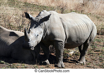 Rhinoceros in the South African safari park