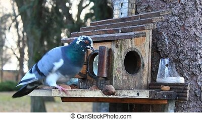 pigeon on the feeding-rack seeks the birdseed - pigeon and...