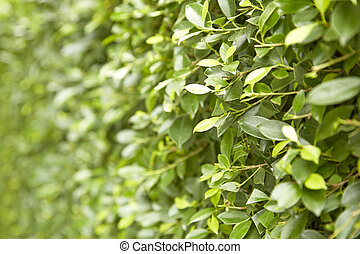 Buxus sempervirens bush - Green Leaves On Branches Of Buxus...