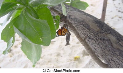 Monarch butterfly eating - Monarch butterfly - Danaus...