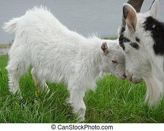 cabra, criança