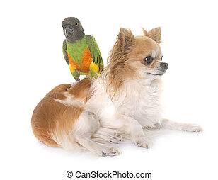 chihuahua and senegal parrot in front of white background