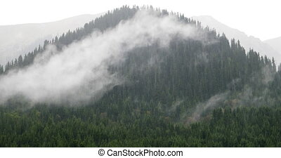 Rain and cloud on the background of Tien Shan spruces. Issyk...