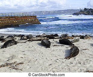 Seals on a California Beach - Seals laying on the sand at a...