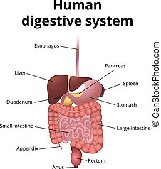 GI tract organs - the location of the gastrointestinal tract...