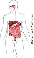 GI tract organs