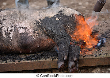 Slaughter burn the pig hair off with a gas burner before...