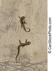 Wall lizards catching the last rays of sun - Common wall...