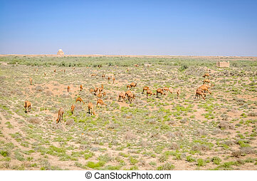 Feeding camels in Merv - Photo of camels feeding on plants...