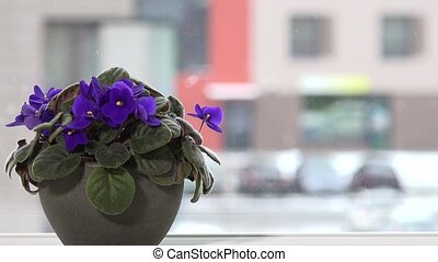 African violet flower in pot on window sill and snowflakes...