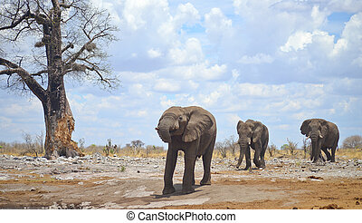 elephants in Africa - three elephants in Africa