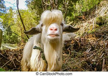 White billy goat - Photo of white billy goat posing to...