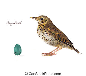 egg song thrush  on a white background