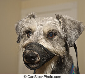 Dog wearing muzzle training device - Miniature schnauzer dog...