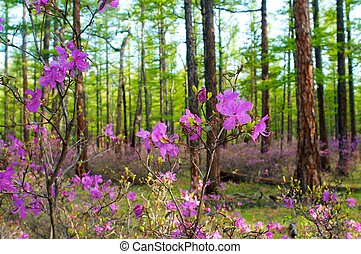 Beautiful pink flowers on spring forest at sunrise