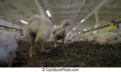 Chicken Farm poultry production - Chicken Farm and poultry...