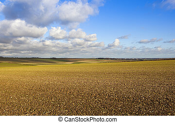 wheat crop in chalky soil - a young wheat crop in chalky...