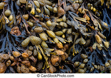 Bladderwrack seaweed - Bladderwrack or Bladder Wrack is the...