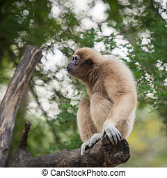 White handed Gibbon or Lar Gibbon