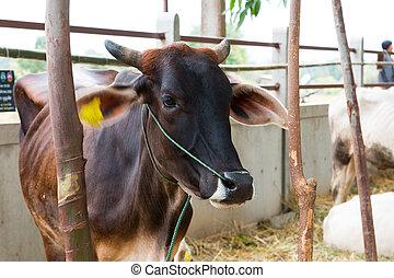 brahman, ganado, establos