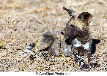 African Wild Dog puppy - Endangered animal African wild dog...