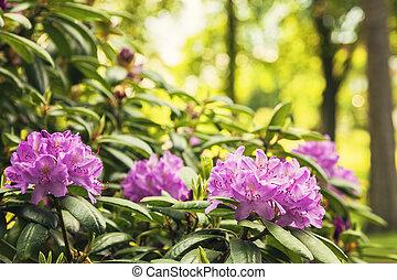 Garden Rododendron bush - Image of a garden Rhododendron...