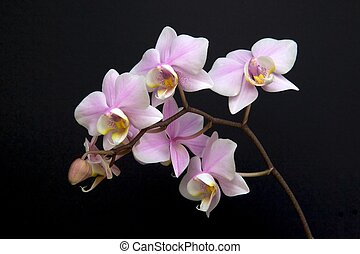 Minature Orchid - A minature orchid spray