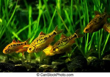 Barbus Schuberti in the aquarium - A flock of Barbus...