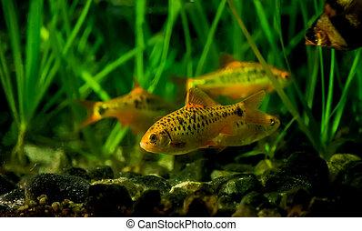 Puntius semifasciolatus(Barbus semifasciolatus ) - aquarium...
