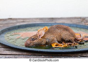 glue mousetrap, Rats on rat glue trap,Dead mouse in a mousetrap
