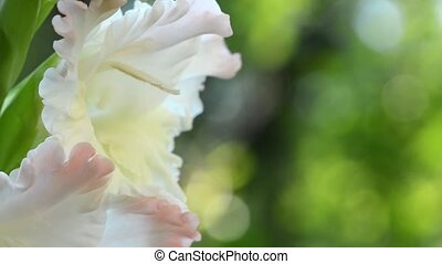 HD 1080 closeup shot of beauty white flowers ob green...