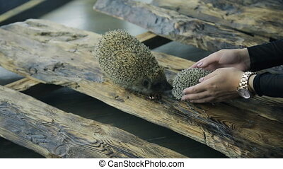 two hedgehogs involved in wedding photo shoot outdoors. One...
