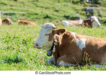 Herd of Hereford breed cows lying on sunshine Alpine...