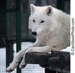 White wolf portrait