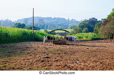 Cows on watering place in the spanish farm