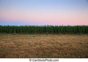 Green cornfield in the morning - View of green cornfield in...