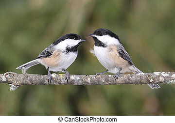 Pair of Chickadees on a Branch - Black-capped Chickadees...