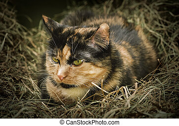 Cat in the Hay - Outbred Domestic Cat Resting in the Hay